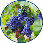 French Grape (image)